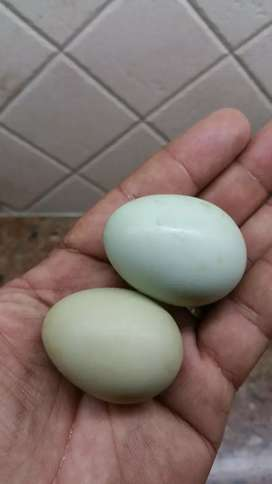 Hatching eggs Blue Coloured cream leg bar