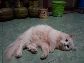 OPEN ADOPT KUCING PERSMED