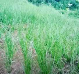 Rumput Vetiver Fungsinya Pencegahan Longsor Di Daratan Tebing