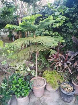 Kangi Palm and arkeria plant for sale