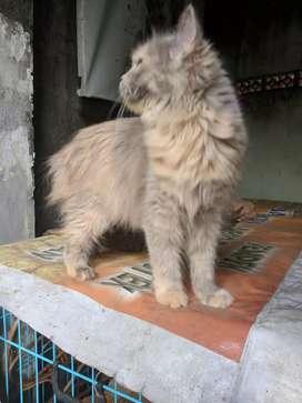 Kucing Persia medium abu2
