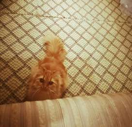 Persian Cat ( negotiable )