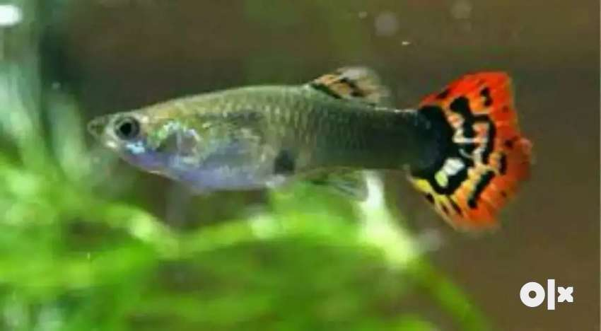 Guppy fish for sell 0