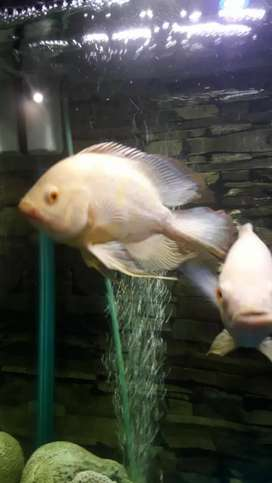 Oscar fish 1 pair black and albino