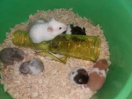 Hamster Syrian super jinak