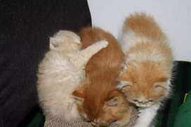 Friendly Persian Kittens and Cats Available