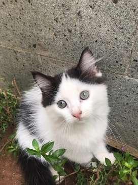 Lepas adopsi kitten persmed 2 bulan