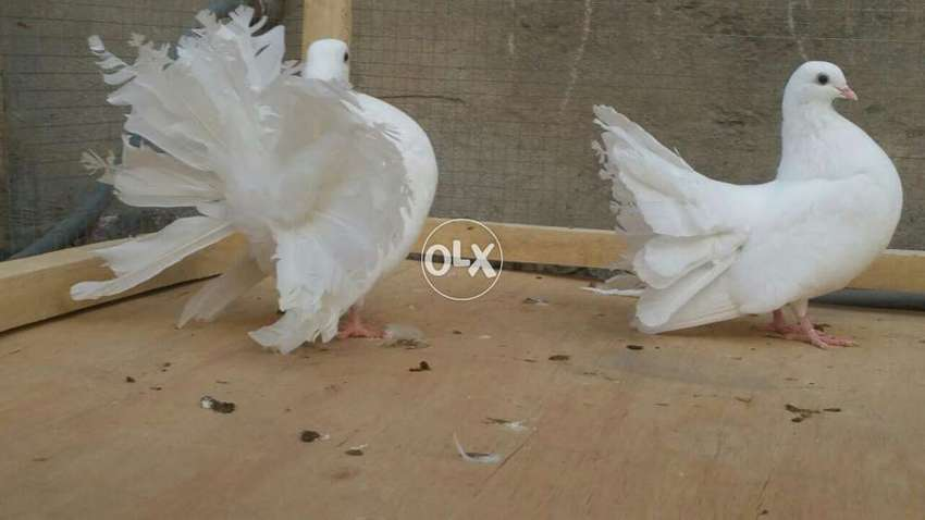 Triple tail pigeons pair imported line 0