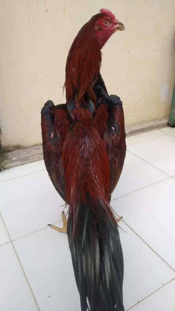 Ayam Bangkok pakhoy Magon super,semi BATU LAPAK BATULAPAK  umur 5bulan 0