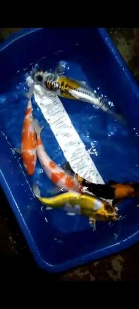 Ikan Koi mix ukuran 25 - 30cm, paket isi 5 ekor