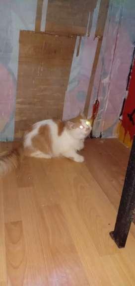 Kucing Persia usia 8 bulan