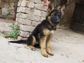 Long coat pure jerman shaperd pups male and female both age 3 months