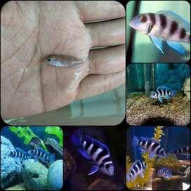 Ikan neolamprologus tretocephalus untuk aquarium