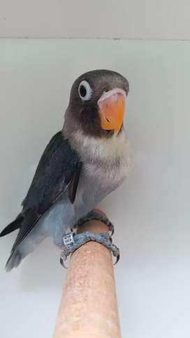 Lovebird batman perso baby