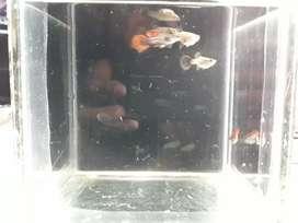 Ikan guppy size juvenil.indukan