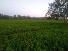 Tea garden at chariduwar balipara tezpur