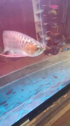 Jual arwana&aquarium nya