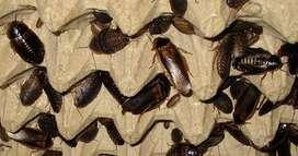 Dubia roach / kecoak 5mm-1cm