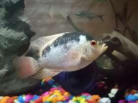 Flower horn male fish