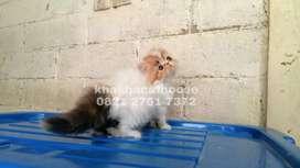 Kitten betina bulu lebat