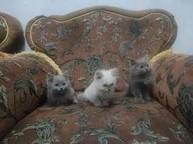 Lepas adopsi kucing Persia medium sisa sepasang