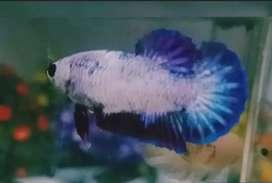 Ikan Hias Cupang Plakat Female, Full Telur