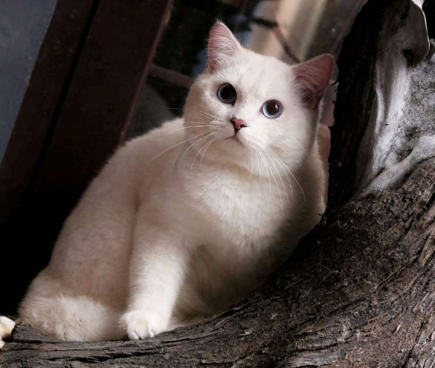 kucing british shorthair jantan warna silver shaded 0