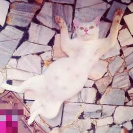 Female white cat