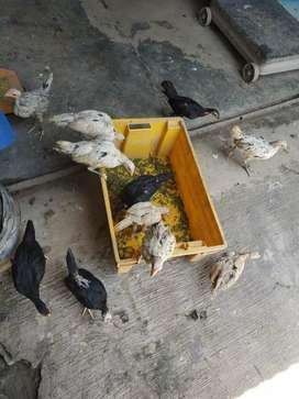 Pitik Ayam Kampung