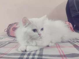 Snow White color female kitten for sale