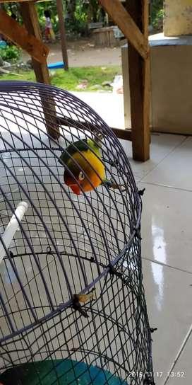 Lovebird josan dewasa jantan sudah pake gelang kaki