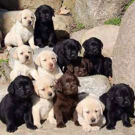 Top pedigree labrador pups from finest lines in all three colors