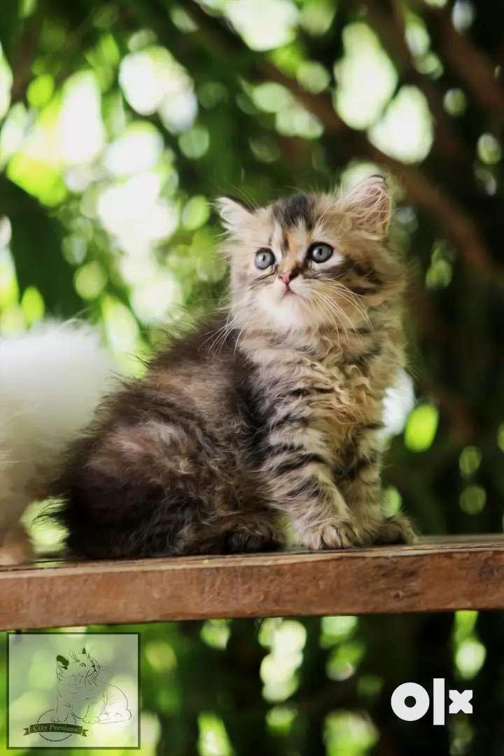 City persians cats 0