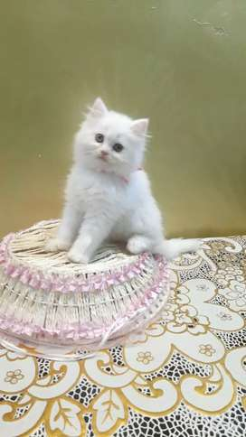 Free home delivery Persian kitten sale