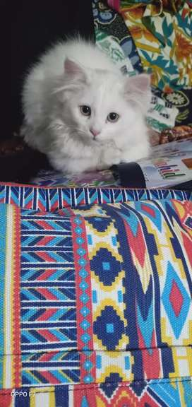 White Persian 2 .5 month old baby Double coated