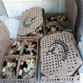 Anak ayam kampung asli