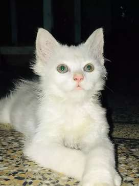 Persion cat(baby)