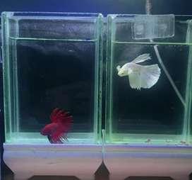 Ikan Cupang Super Red & Super White Big Ear
