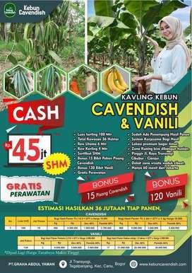 kavling kebun vanili cavendish harg 45 juta raih 65jt tiap panen