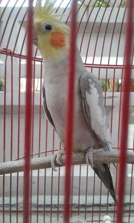 Dijual burung parkit AUSTRALiA / FALK