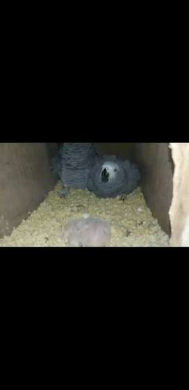 Half & full Covered & Pin Feather African Grey Parrot Chick Available