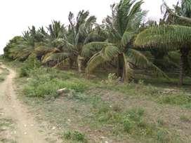 Coconut farm sale