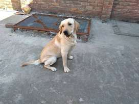 Male And Female Labrador for sale