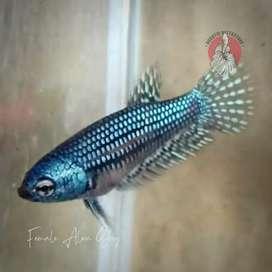 wild betta female alien grey - ikan cupang alam