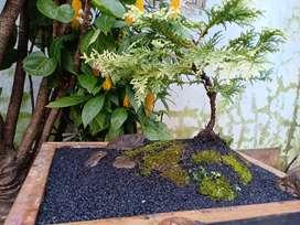 Pot bonsai murmer