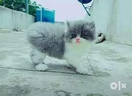 Arabic Persian Cat's are available in Orissa