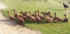 Brown Campbell (khaki)4 months ducklings full healthy 1+4 will be sale