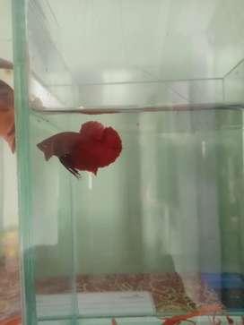 Cupang super red