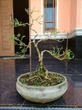 bonsai mame seribu bintang 4