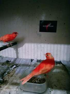 Burung kenari merah lokal warna jaminan alami murni genetik